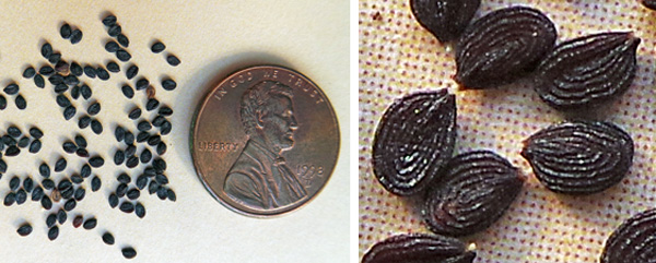Field pennycress produces numerous small seeds (L), each of which has raised ridges on the surface (R).