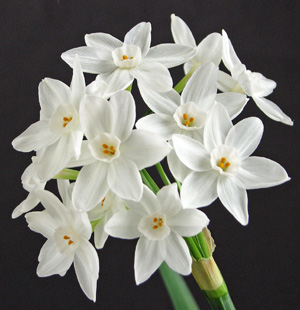 Paperwhites can be forced to bloom in just a few weeks.