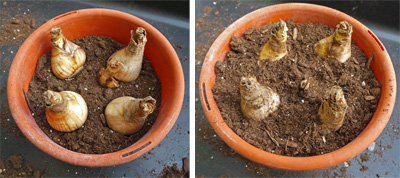 Crowd the bulbs in your container for a full flower display (L) and be sure the bulbs are sticking out of the soil about halfway.