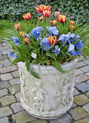 Forced tulips contrast with blue pansies.