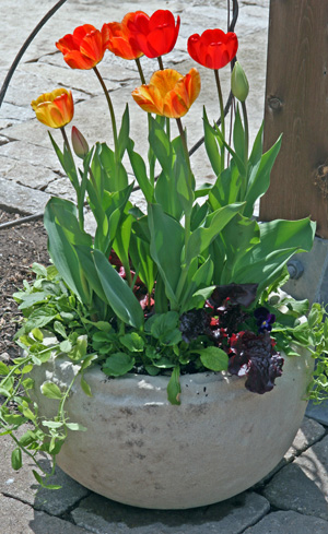 Forced bulbs can be combined with lettuce and other cool season plants.
