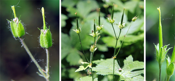 After flowering (L), and the distinctive seed capsules (C and R).