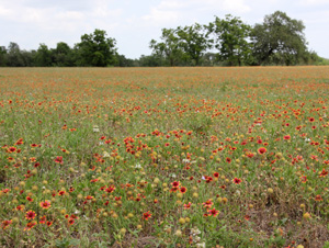 A field of Gaillardia pulchella near Austin, Texas.