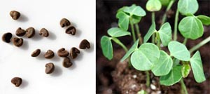 The large seeds (L) are easy to plant, germinate quickly, and the seedlings (R) grow rapidly.