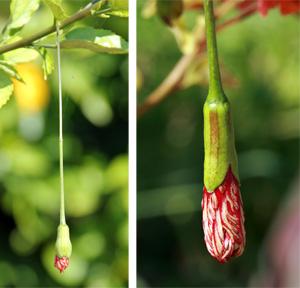 The hanging flower buds of Hibiscus schizopetalus.