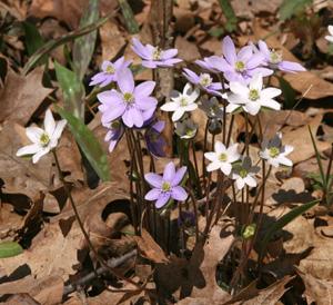 Hepatica blooming in spring.
