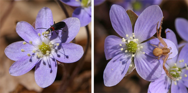 Hepatica flowers are visited by many different pollinators and other insects.