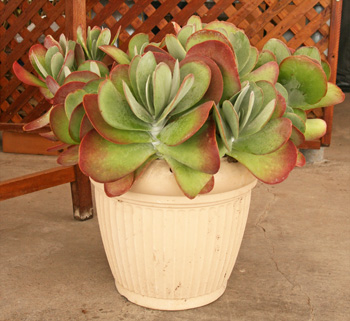 Flapjacks makes a great container plant.