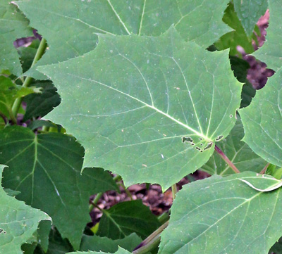 The maple-like leaves can be up to 8 inches across.