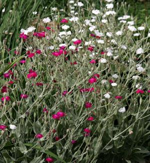 Magenta and white-flowered rose campion, Lychnis coronaria.