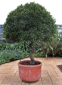 Container-grown bay tree, Kew Gardens, London, England.