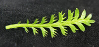 The tiny leaves resemble fern fronds.