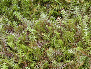 Brass buttons is an unusual groundcover.