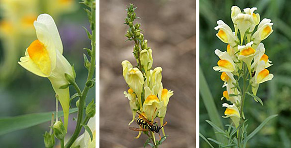 The cream to yellow flowers of yellow toadflax have a long straight spur (L) and are produced in terminal clusters (R). The flowers are attractive to insects (C).