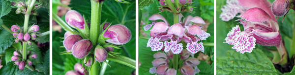 The pink, bilabiate flowers (RC and R) emerge from hairy buds (LC) in whorls the upper leaf axils (L).
