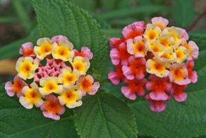 Wild Lantana camara in bloom.
