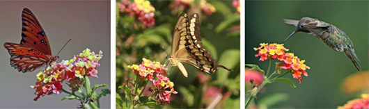 Lantana is attractive to butterflies and hummingbirds.