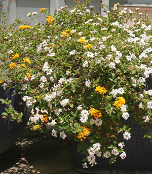 Yellow and white cultivars growing together in an ormanental bed.