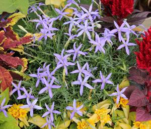 Laurentia is a perennial grown as an annual.