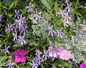 Laurentia combines well with other plants as a filler.