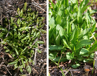 The basal leaves in spring (L) and early summer (R).