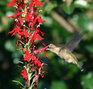 Cardinal flower is highly attractive to hummingbirds.