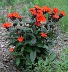 Lychnis ×arkwrightii 'Vesuvius'.
