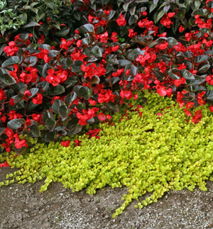 Lysimachia nummularia Aurea with red-flowered begonia.