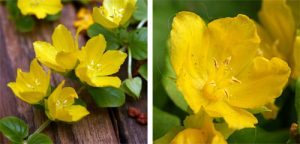The bright yellow, cup-shaped flowers of creeping Jenny.