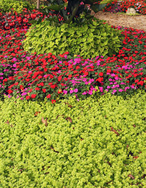 Golden creeping jenny (front) used in an annual bed with impatiens and Marguerite ornamental sweet potato.