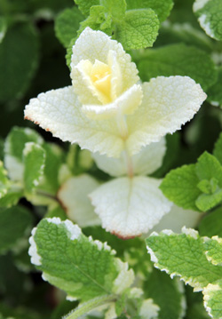 All white stems are more susceptible to sunburn than variegated ones.