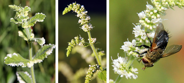 Pineapple mint flowering (L), spike with buds (C) and flowers (R).