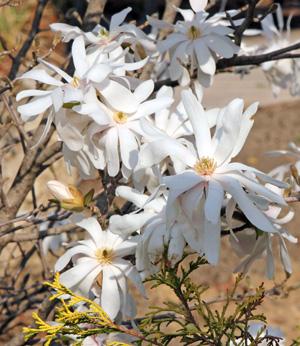 Star magnolia has variable flowers.