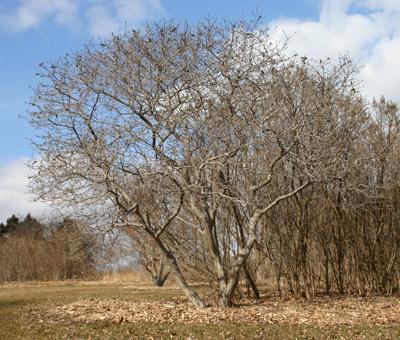 M. stellata Royal Star tree in late winter.