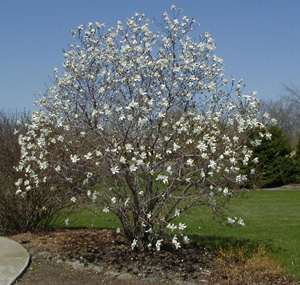 Star magnolia in early bloom.
