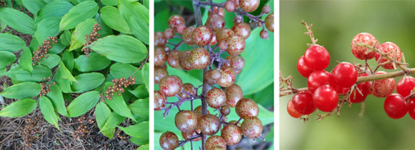 The berries on the ends of the stems (L) turn from green with red mottling (C) to red when mature (R).