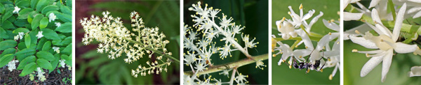 The flowers of false Solomons seal are borne on the ends of the stems (L) in feathery clusters (LC) with 20-80 flowers (C), and each starshaped white flower with 6 tepals and stamens (RC and R).