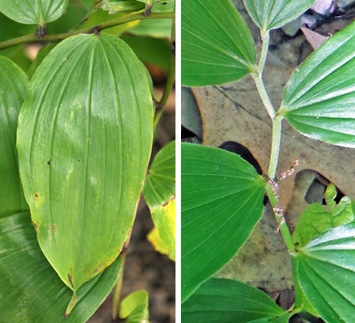 The smooth entire leaves (L) are produced alternately on the slightly zigzagging stems (R).