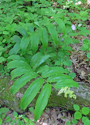 False Solomons seal is a native woodland plant with arching stems.