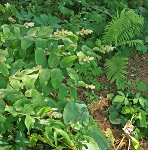 False Solomons seal combines well with other shade-loving perennials.