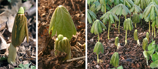 Mayapple emerging in early spring.