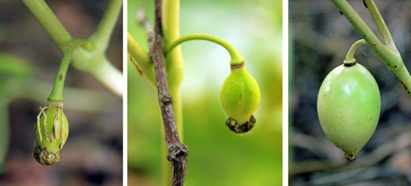 Flowers are followed by fruits (L and C) that develop into a fleshy apple containing several seeds.