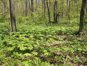 Mayapple needs partial or full shade to thrive.