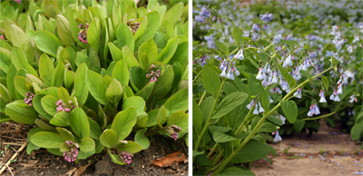 Virginia bluebells bloom in mid-spring, quickly going from the bud stage (L) to full bloom (R).
