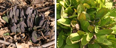 The plants emerge early in spring, changing from deep purple to green as the leaves expand.