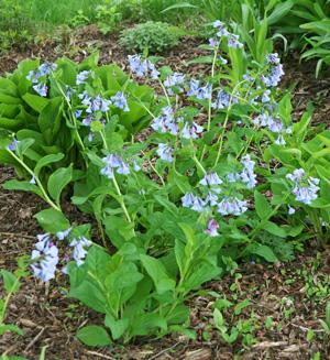 Virginia bluebells is a native woodland wildflower.