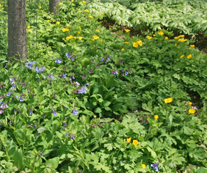 Virginia bluebells, celandine poppy and May apple in a woodland garden.