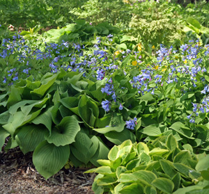 Virginia bluebells combine well with hostas.