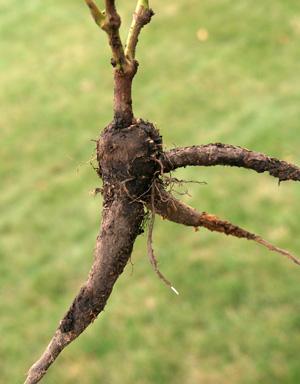 The swollen root of MIrabils jalapa.