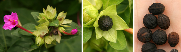 The wrinkled, dark-colored fruits on the plant (L and C) and harvested (R).